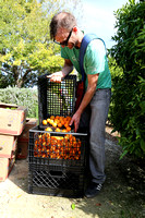 SLO Glean is an organization that helps the hungry by harvesting extra produce on local land that would otherwise get wasted.